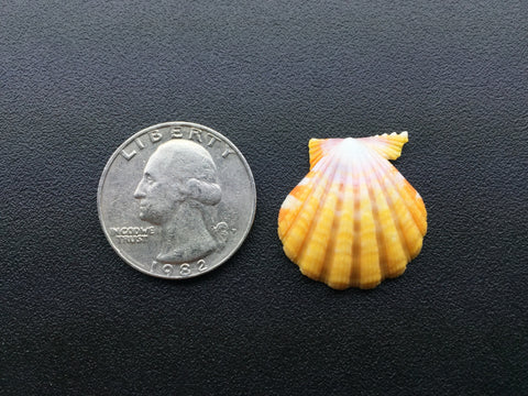 0420 Single Yellow Sunrise Shell Of Perfect Quality