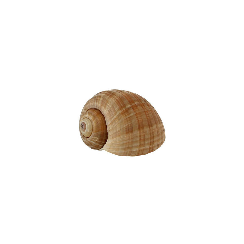 Large Burgundy Snails, 10DZ - Zouf.biz