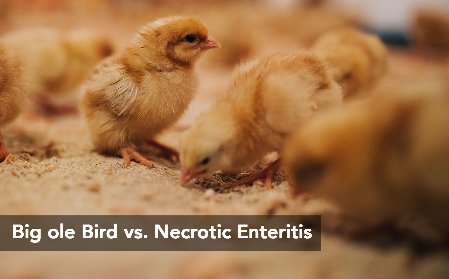 Big ole Bird vs. Necrotic Enteritis