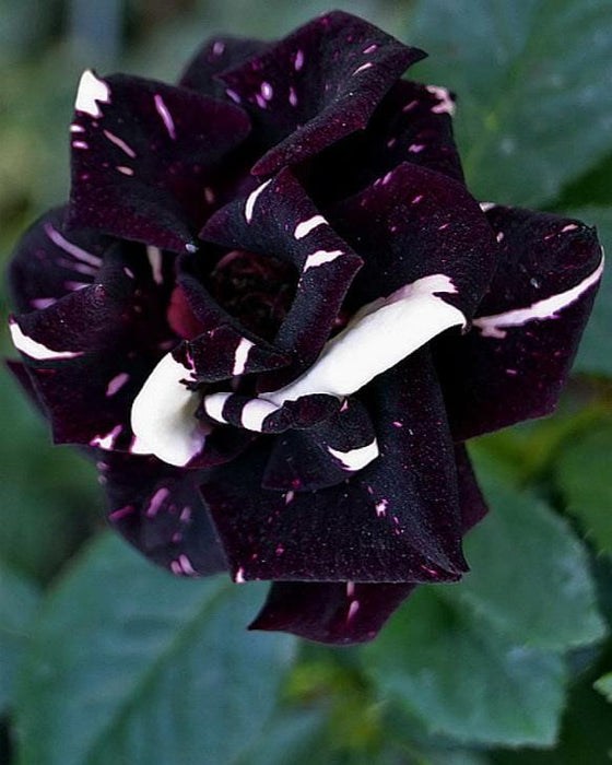 Athonite Incense: Black Rose