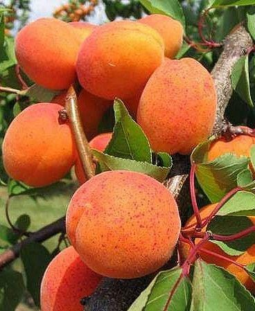 Essential Oil: Apricot