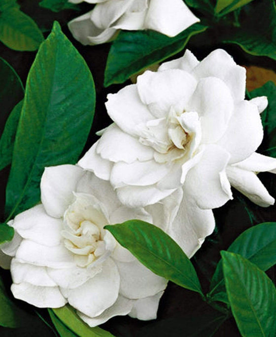 Essential Oil: Gardenia