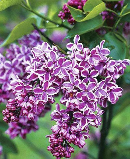 Essential Oil: Lilac