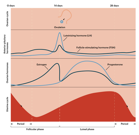 menstrual-cycle-phase-breakdown