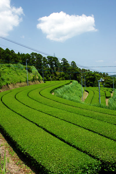 Best Organic Matcha Green Tea in Japan