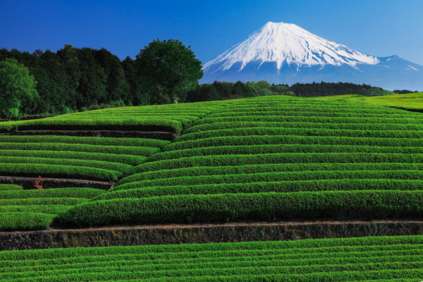 Green Tea Farm in Shizuoka, Japan