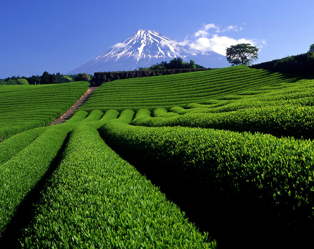 Organic matcha green tea farm in Shizuoka, Japan