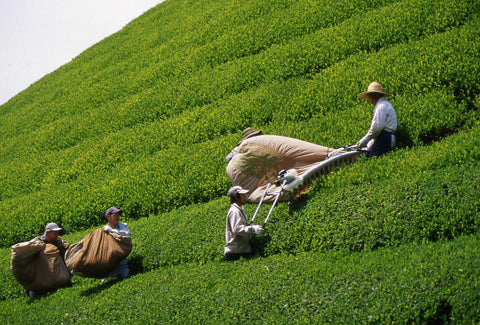 Green Tea farm In Japan. Grace & Green - High quality organic matcha green tea
