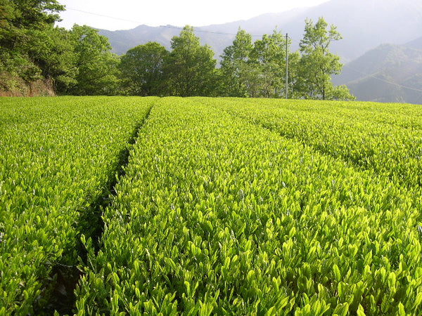 Green Tea Field in Japan