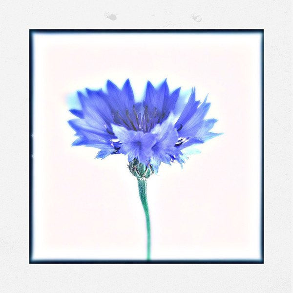 Cornflower - David Loftus Print Shop