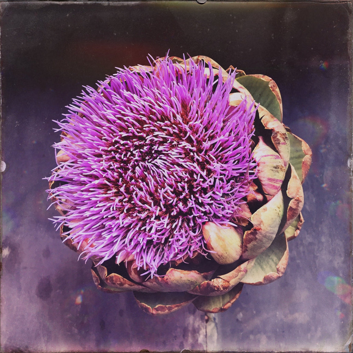 Artichoke Flower- Two - David Loftus Print Shop