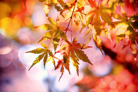 Leaves on a tree transform into a symphony of red, orange, and yellow colors on a crisp fall day.