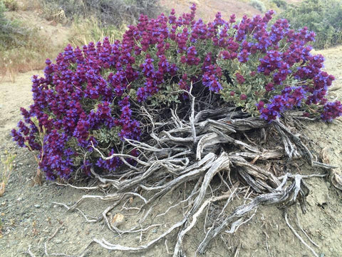 Believe In The Wisdom Of Purple Sage