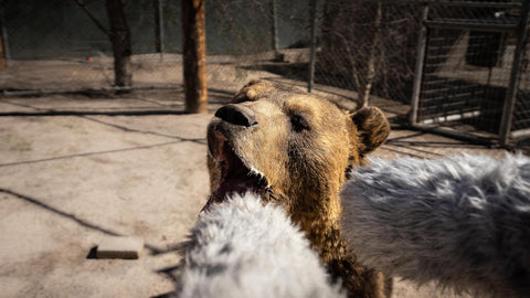 Pro Sound Effects Wildlife Collection Grizzly Bear roaring