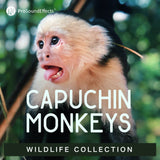 Wildlife Collection: Capuchin Monkeys