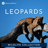 Wildlife Collection: Leopards