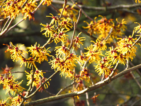 Witch hazel flowers