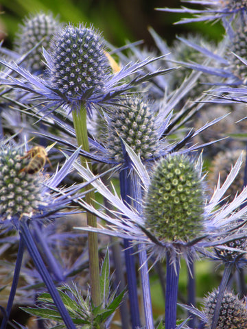 Sea Holly heads