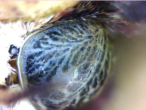 Large Yellow Underwing eye