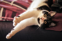 Tabby James Blog Image - Choosing a Suitable Indoor Cat Breed