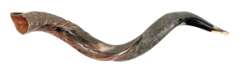 Small Plus Yemenite Shofar