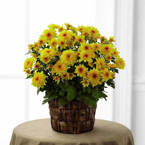 The FTD(r) Chrysanthemum