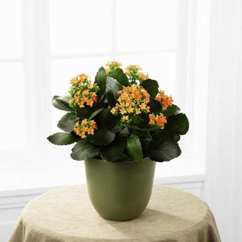 The FTD® Kalanchoe (C23-4884)