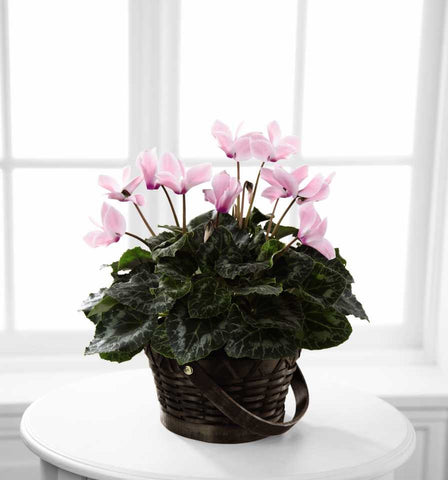 The FTD(r) Pink Cyclamen (C24-4880)