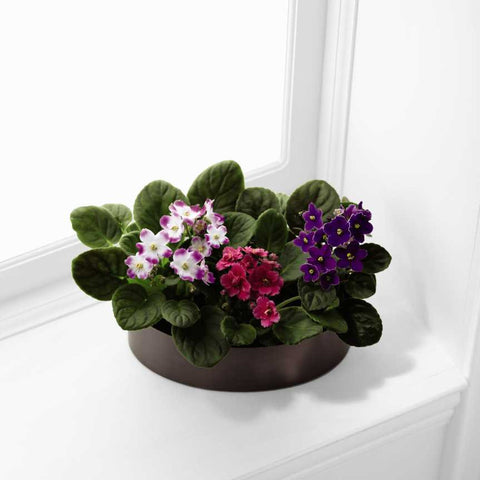 The FTD® African Violets (C24-4883)