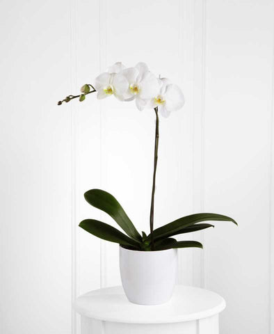 The FTD(r) White Orchid Planter (S11-4462)