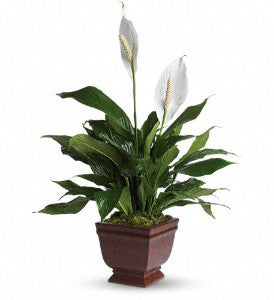 Teleflora's Lovely One Spathiphyllum Plant (T272-1)