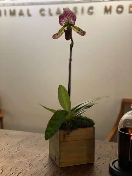 Lady Slipper Orchid in Wood Pot