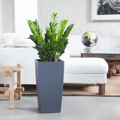 Beluga Baby loves indoor plants that are hard to kill, like this ZZ plant