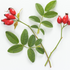 Rosehip for skin: All the benefits