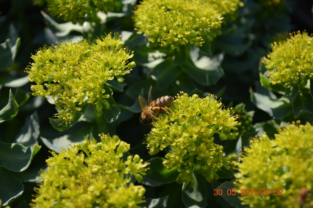 Rhodiola Rosea Research