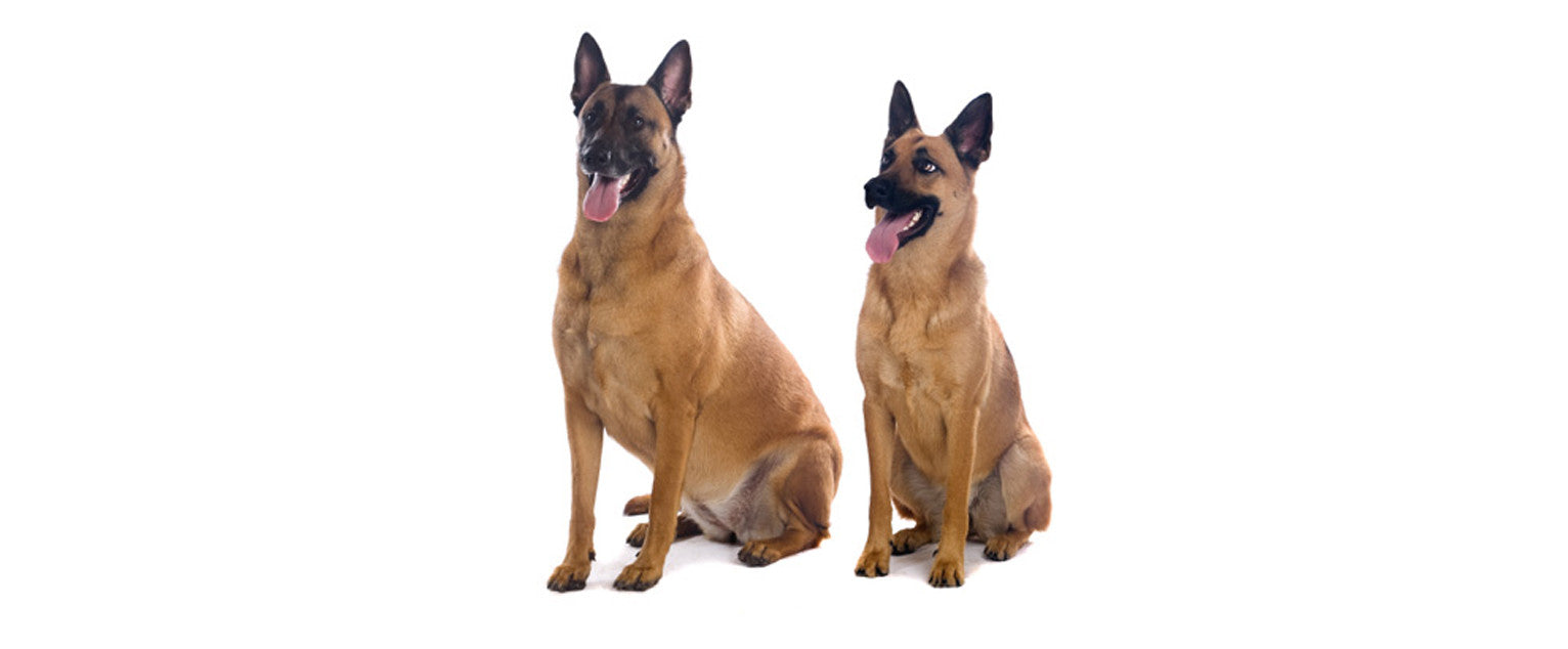 Belgian Sheepdog, Malinois