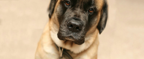 Mastiff (Old English Mastiff)