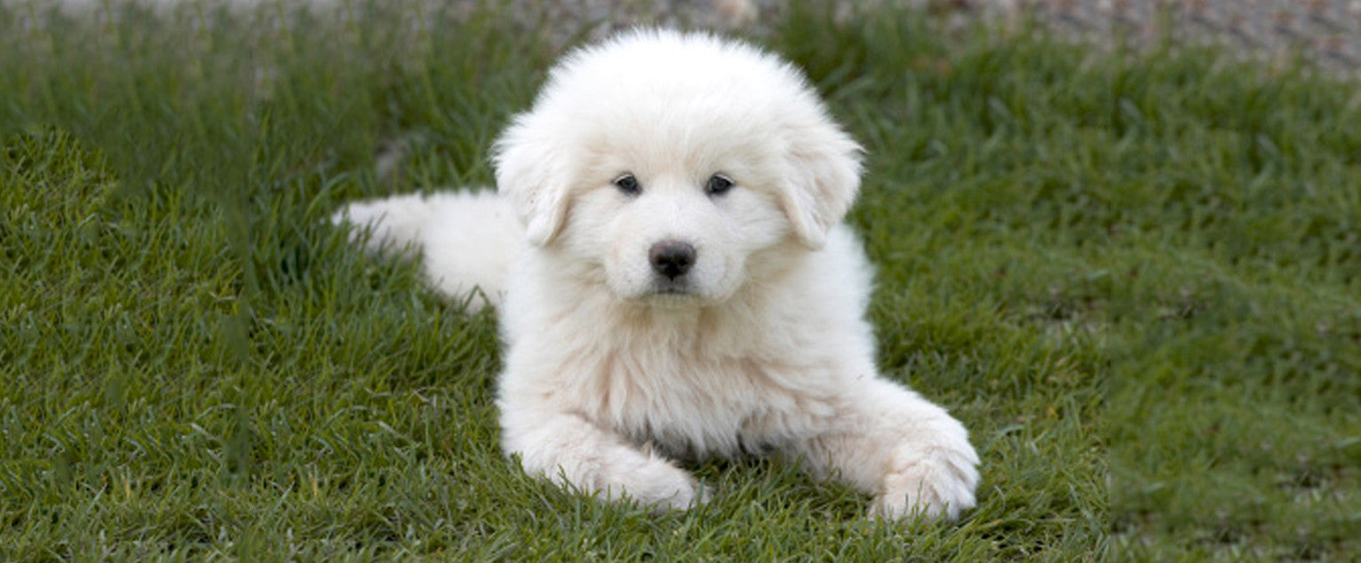 Great pyrenees Pictures, Images Photos