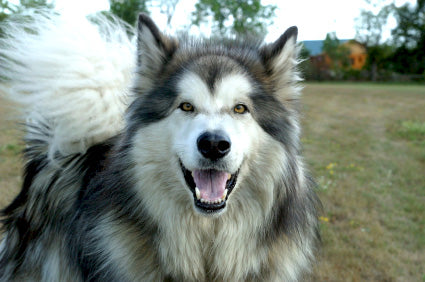Alaskan Malamute Wooftown Without sufficient exercise and challenging bored alaskan malamutes are famous for chewing through drywall, ripping the stuffing out of sofas if you have small children, or if you or anyone who lives with you is elderly or infirm, i. wooftown