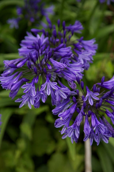 Agapanthus 'Midnight Star' (syn. 'Navy Blue')
