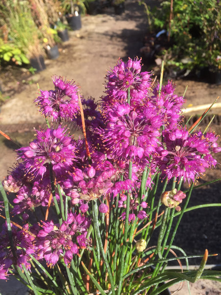 Allium thunbergii '1100'