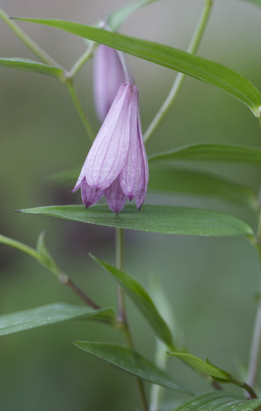 Disporum cantoniense 'Blueberry Bere'