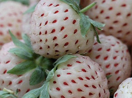 Fragaria 'Pineberry'