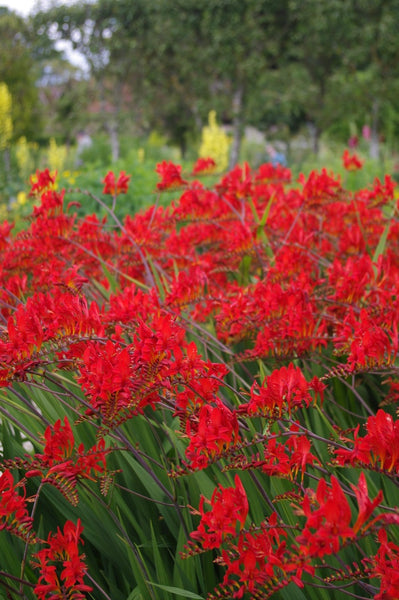 Crocosmia 'Lucifer' AGM