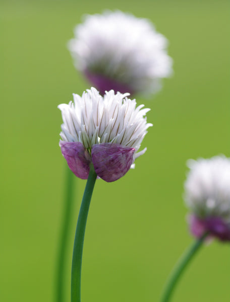 Allium schoenoprasum 'Black Isle Blush'