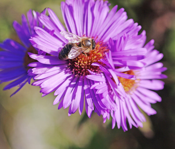 Aster novae-angliae 'Christopher Harbutt'