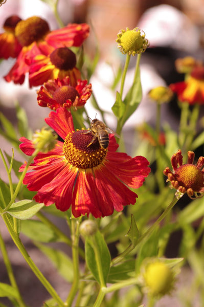 Helenium 'Septemberfuchs'
