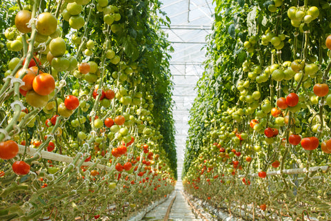 Plant nursery growing tomatoes