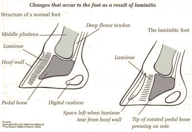 Laminitis - Early Treatment is Key
