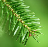 Fir Balsam Essential Oil